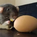 Szczury rules!